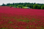 Crimson clover, over and over